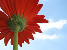 Red marguerite Royalty Free Stock Image