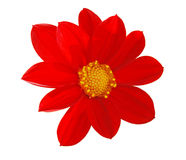 Red marigold. Isolated picture of red marigold stock photo