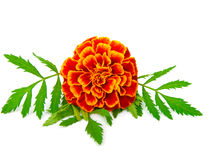 Red Marigold. (Tagetes), isolated on a white background Royalty Free Stock Photo