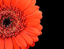 Red Marigold Flower Part Isolated on Black Stock Image