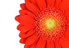 Red Marigold Flower Part Isolated on White Stock Photography