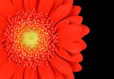 Red Marigold Gerbera Flower Part Isolated on Black Stock Image