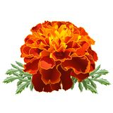 Red Marigold (Tagetes) Stock Photo