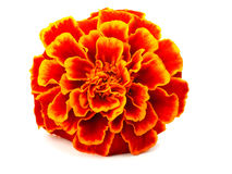 Red Marigold (Tagetes) Royalty Free Stock Images