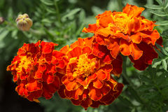 Red marigolds Stock Photo