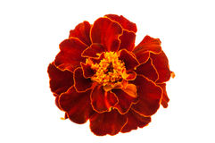 Red marigolds isolated Stock Images