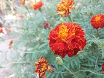 Red marigolds. Red marigoles flower Royalty Free Stock Photography