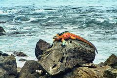Red marine iguana. The marine iguana (Amblyrhynchus cristatus) is an iguana found only on the Galápagos Islands that has the ability, unique among modern royalty free stock photos