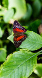 Red Markings on Butterfly Royalty Free Stock Photography