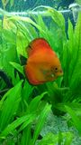 Red marlboro discus fish Royalty Free Stock Photography