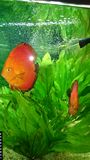 Red marlboro discus fish pair Stock Images