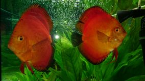 Red marlboro discus fish pair Stock Photography