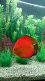 Red Marlboro discus fish Royalty Free Stock Images