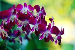 Red maroon flowers orchid Royalty Free Stock Image