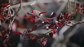 Red or Maroon Leaves on Branches. Dark red leaves from a plum tree or similar plant blowing in the wind. Spring or summer daytime setting stock footage