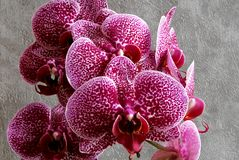 Red maroon orchids flowers on dark background stock photos
