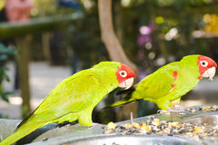 Red-masked Conure. Pair of Red-masked Conures feeding. Focus on the left bird Royalty Free Stock Images
