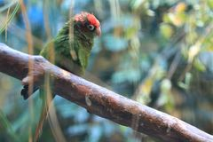 Red-masked parakeet. Sitting on the wood Royalty Free Stock Images