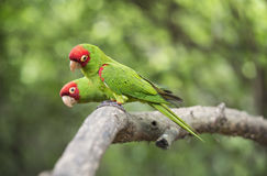 Red-masked parakeets Royalty Free Stock Photography