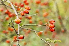 Red mature rosehips with branches Royalty Free Stock Photos