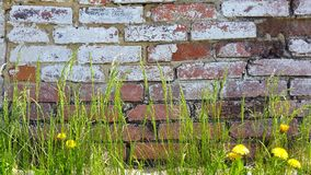 red med den vita skarven Gräs och maskrosor Royaltyfria Foton