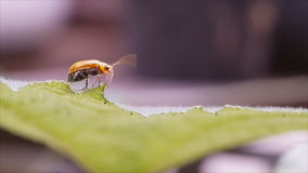 Red melon beetle on pumpkin leaf stock video footage