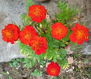 Red meri gold flowers. stock image