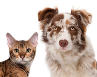 Red Merle Border Collie. 6 months old and a Bengal cat, 7 months old, in front of a white background royalty free stock images