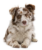 Red Merle Border Collie, 6 months old, lying Royalty Free Stock Photo