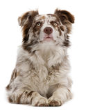 Red Merle Border Collie, 6 months old, lying. In front of white background royalty free stock images