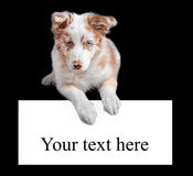 Red merle border collie on the black background Royalty Free Stock Photos