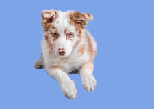 Red merle border collie on the blue background Stock Photos