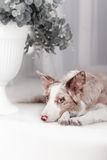 Red Merle Border Collie, 6 months old Stock Photos