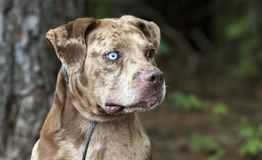 Red merle Catahoula Leopard Dog outdoors on leash. Red merle dapple Catahoula mixed dog, unneutered male with one blue eye. Animal shelter pet adoption dog royalty free stock images