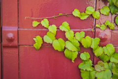 Red metal vintage door with ivy leaves Royalty Free Stock Photography