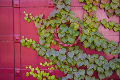 Red metal vintage door with ivy leaves Royalty Free Stock Photos
