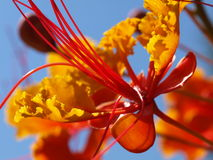 Red Mexican Bird of Paradise Royalty Free Stock Images