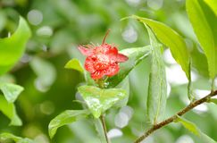 Red Micky mouse plant flower with drop of water blooming on branch in garden. Red Micky mouse plant flower with drop of water blooming on branch in the garden royalty free stock images