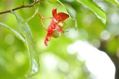 Red Micky mouse plant flower with drop of water blooming on branch in garden. Red Micky mouse plant flower with drop of water blooming on branch in the garden stock photos