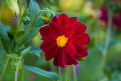 Red Mignon dahlia flower. During bright sunny day with green meadow background Stock Images