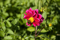 Red mignon dahlia flower with bumblebee. Bumblebee gather pollen from red Mignon dahlia flower during bright sunny day in meadow Stock Photo