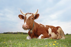 A red milk cow royalty free stock image