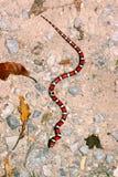 Red Milk Snake Illinois Wildlife Stock Images