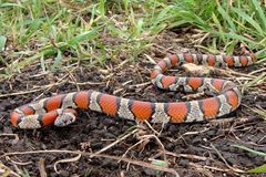 Red Milk Snake, Lampropeltis triangulum syspila Stock Images