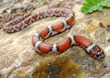 Red Milk Snake, Lampropeltis triangulum syspila Royalty Free Stock Photography