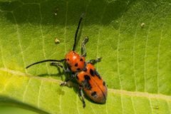Red Milkweed Beetle Stock Image