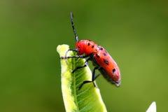 Red Milkweed Beetle. Tetraopes tetraophthalmus Feeding On Milkweed royalty free stock images