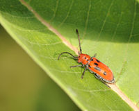 Red Milkweed Beetle Royalty Free Stock Photos