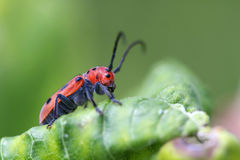 Red Milkweed Beetle Stock Photo