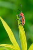 Red Milkweed Beetle. Clinging to a leaf. Todmorden Mills, Toronto, Ontario, Canada Royalty Free Stock Photo